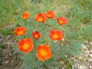 fleurs des Deux Pins 8 mai 2013 019