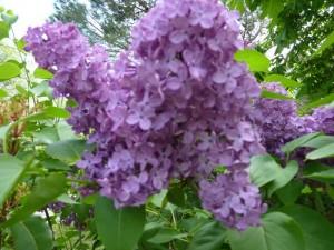 fleurs des Deux Pins 8 mai 2013 003