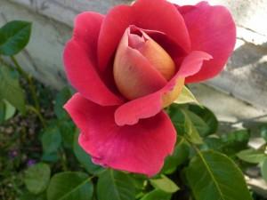 Roses des Deux pins 22 mai 201 007 illustr voyage pape Terre sainte