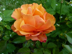 Deux Pins fleurs 6 mai 2014 rose rodho 002 illust pape francois 25 juin 2014