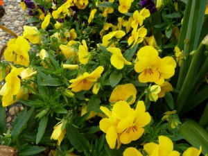 Fleur Castres  12 avril 2014 061