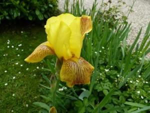 Iris azalee seringat 30 avr 2014 001