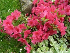 Iris azalee seringat 30 avr 2014 009
