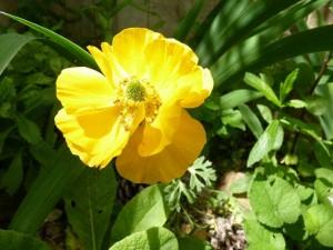 Iris azalee seringat 30 avr 2014 014