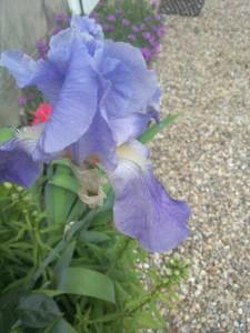 fleurs 2 Pins Wiko 17 mai 2015 (3)
