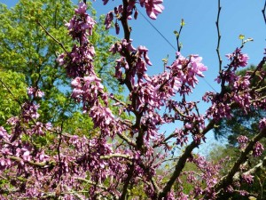 le printemps aux Deux Pins 18 avr 2015 003
