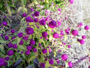 Graulhet 25 sep 2015 jardin Omnisports (12)