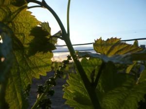 randonnée Cabanès du 16 mai 09 Vignes de Garibal