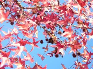 Albi 19 dec 2015 arbre roux erable rd pt hopital gare (5)