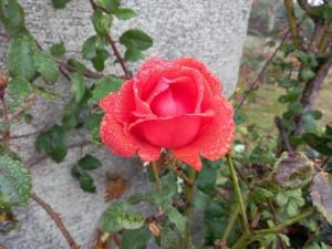 rose des Rodriguez footing 12 nov 2015
