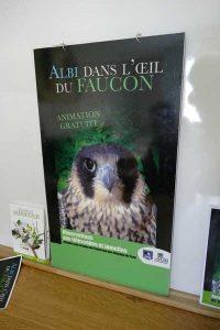 Albi 21 avr 2016 les faucons pelerins  (3)