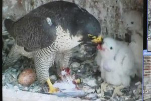 Albi 21 avr 2016 les faucons pelerins  (5)