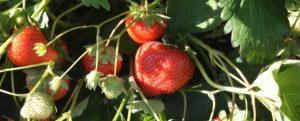 fraiseMontdragon6mai2016bis