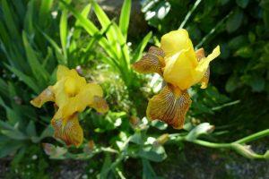 Fleurs 2 Pins 5 mai 2016 (2)